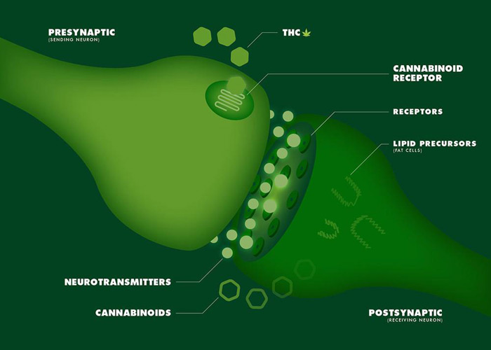 Example of how cannabis interacts with our endocannabinoid system.