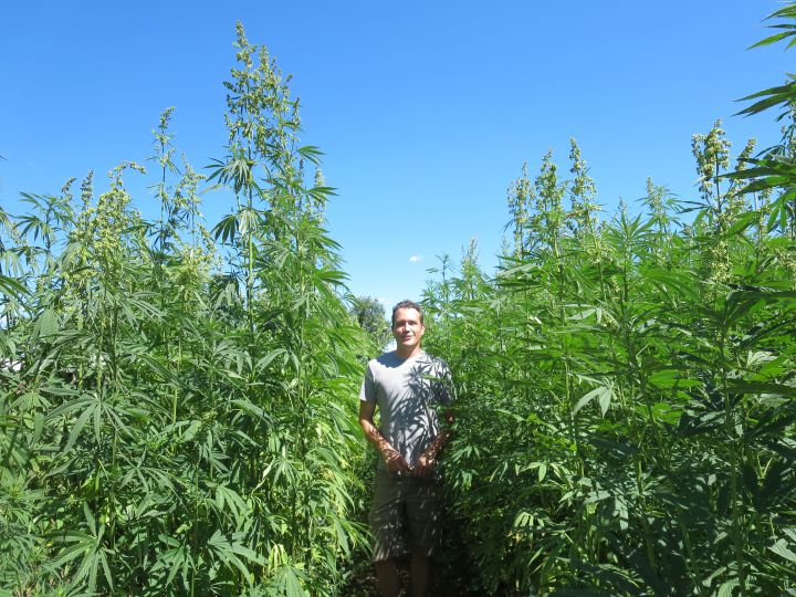 A hemp field with a rare sighting of the Colorado Pot Guy