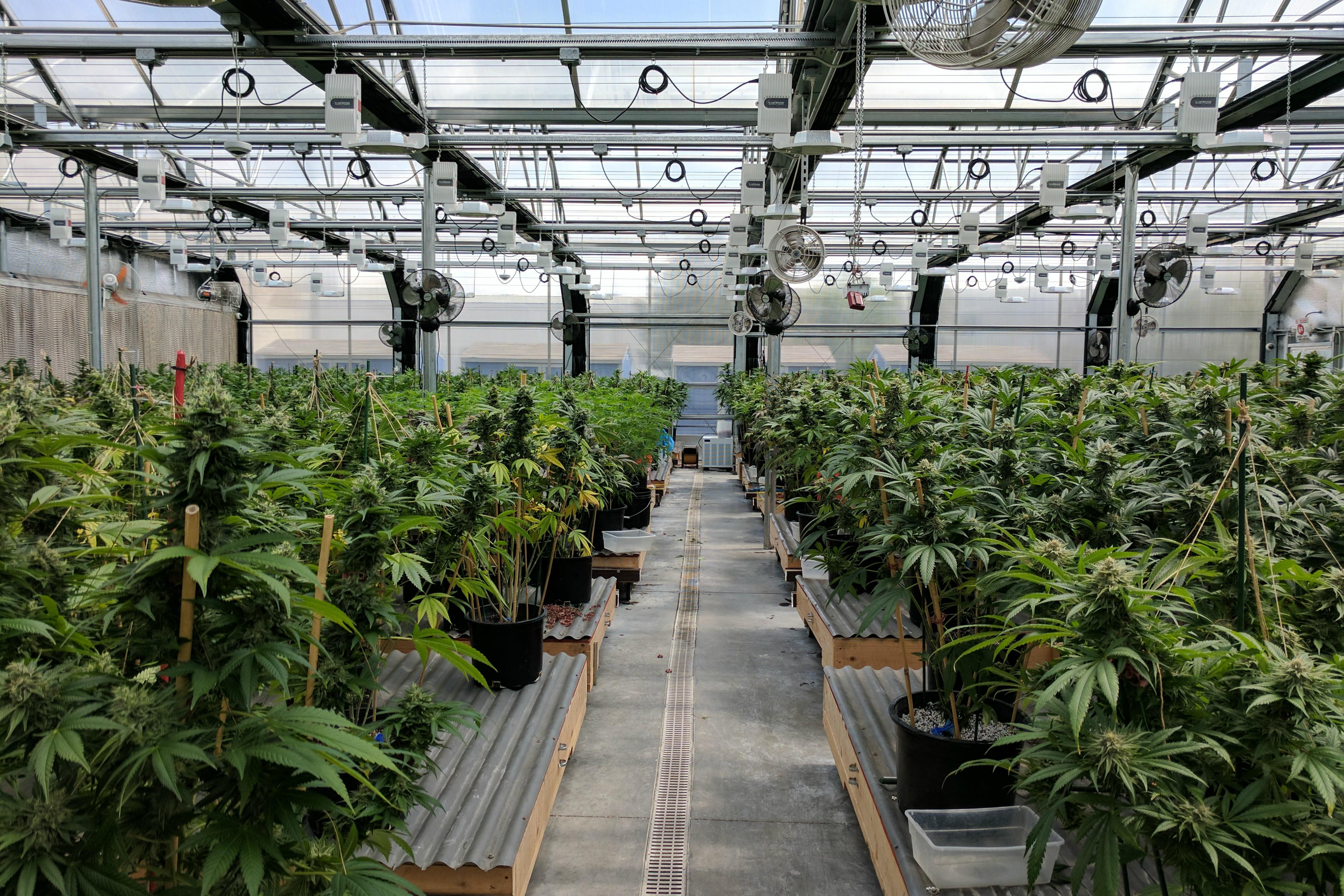 The Top 10 High-CBD, Low-THC Cannabis Strains | PotGuide com
