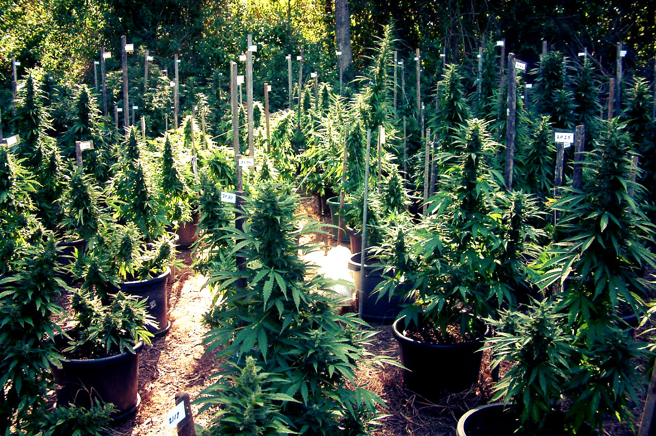 How to Grow Marijuana Outdoors, Legally | PotGuide.com