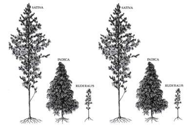 What is a Cannabis Landrace Strain? | PotGuide.com