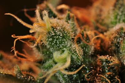 Get to Know a Landrace Strain: Durban Poison